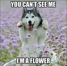 Siberian Husky in a field of flowers