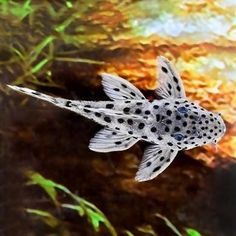 awesome Snow Leopard Plecostomus by www.dezdemon-exot… genialer Schneeleopard Plecostomus von www. Tropical Freshwater Fish, Tropical Fish Aquarium, Freshwater Aquarium Fish, Aquarium Fish Tank, Fish Tanks, Aquarium Ideas, Pleco Fish, Plecostomus, Aquariums
