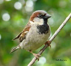 Gråspurv / house sparrow - a Beautiful image (my favourite bird of all)