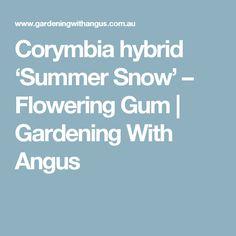 Corymbia hybrid 'Summer Snow' – Flowering Gum | Gardening With Angus