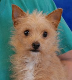 Sparky is the sweetest little ball of dynamite and he's debuting for adoption on New Year's Eve at Nevada SPCA (www.nevadaspca.org).  He is a super cute, 6-pound Chihuahua & Terrier mix, 1 year young and now neutered.  Sparky is reportedly housetrained.  He is good with other dogs, but needs to be fed separately from them.  Food is very serious business for this little guy due to suspected experience with near-starvation earlier in his life.  Please help us find him a responsible, forever…