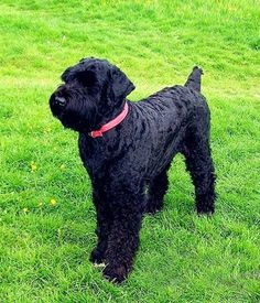 Black Russian Terrier picture - for when it's time to adopt a dog...or two.