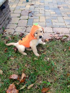 First Halloween costume and will probably be his only one! First Halloween Costumes, Cute Baby Dogs, Cute Creatures, Mans Best Friend, Dog Holidays, Fur Babies, Dog Breeds, Labrador, Dog Cat