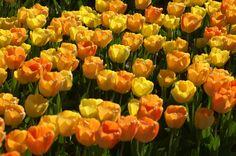 A sea of tulips