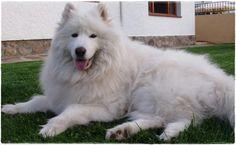 La raza canina Samoyedo fue criada por pastores de renos rusos para ayudar con el pastoreo, tirar de trineos y mantener a sus dueños calientes de noche.