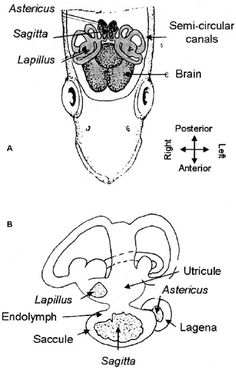 a diagram of an otolith  or ear bone  of a fish  you can