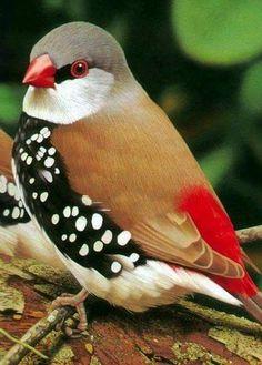 Tawny Frogmouth - snedá Frogmouth (Podargus strigoides) je austrálsky druh, Frogmouth druh vtáka nájsť po celom austrálsky ...