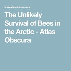 The Unlikely Survival of Bees in the Arctic - Atlas Obscura
