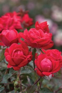 Gardener's Guide to Knock Out Roses by Sand and Sisal