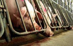 Campanha pede fim das gaiolas que aprisionam porcas reprodutoras