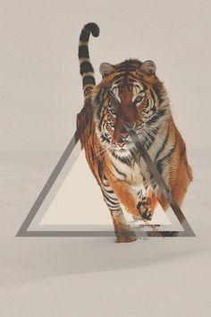Triangle Tiger