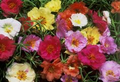 Moss rose - ground cover prefers full sun, might be good in sunnier parts of the yard or front flower bed
