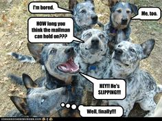 Patient Australian Cattle Dogs. #dog #funny