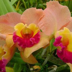 Pink,yellow, n orange orchid