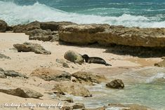 Hawaiian Monk Seal Honey Girl, nusing her Pup, born on the of May 2019 - North Shore, Hawaii Oahu Hawaii, Kauai, Hawaiian Monk Seal, Harbor Seal, Seal Pup, The Monks, Hawaiian Islands, Sandy Beaches, North Shore
