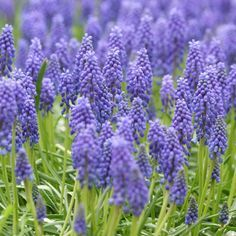Grape hyacinth has to be one of the most fragrant bulbs to grow! See more fun bulbs: www.bhg.com/gardening/flowers/bulbs/editors-picks-best-spring-blooming-bulbs/?socsrc=bhgpin082312