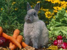 Domestic Netherland Dwarf Rabbit Amongst Vegetables, USA Premium Poster by Lynn M. Stone at Art.com