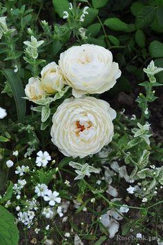 'Claire Austin'   Shrub.  English Rose Collection. David C. H. Austin (United Kingdom, 2007).