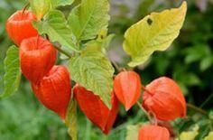 Lampionblume Pflege und Anzucht