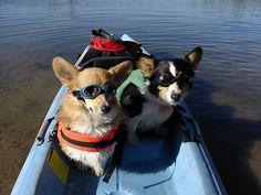 Kayaking Corgis..Randy check this out!!