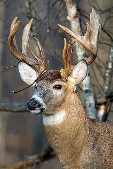 Whitetail Deer Pictures, Deer Photos, Wild Animals Pictures, Animal Pictures, Wild Deer, Deer Tattoo, Deer Art, Whitetail Bucks, Woodland Christmas