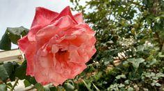 Otro acercamiento de la rosa