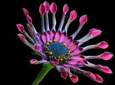 COLORFUL DAISY - flowers, daisies, petals, colorful, close up, large, photos, macro, nature, daisy