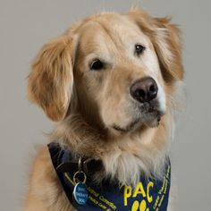 Meet Banjo - UCLA PAC Volunteer. His greatest accomplishment is his Eight obedience titles, including being a certified tracking dog