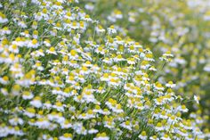 Certified Organic German Chamomile Seeds 1000: by PlantGoodSeed