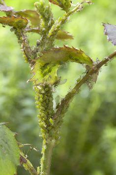 Diese winzigen, garstigen Biester... Läuse! • Blumen & Pflanzen Blog • 99Roots.com