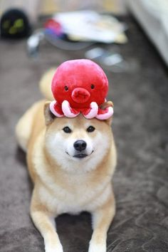 One of my favorite dog breeds is the Shiba Inu. Animals And Pets, Baby Animals, Funny Animals, Cute Animals, Cute Puppies, Cute Dogs, Dogs And Puppies, Doggies, Chien Shiba Inu
