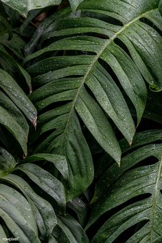 Wet Monstera deliciosa plant leaves in a garden | free image by rawpixel.com / Jira Plant Wallpaper, Green Wallpaper, Iphone Background Wallpaper, Aesthetic Iphone Wallpaper, Phone Backgrounds, Aesthetic Wallpapers, Plant Background, Plant Aesthetic, Monstera Deliciosa