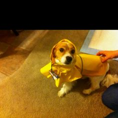 My puppers in his raincoat ;)