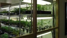 Indoor marijuana