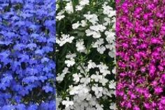 Lobelia 'Techno Heat Series' Plant DetailsQuick FactsPlant CareSizes Plant Details Common Name : Lobelia, Edging Lobelia, Botanical Name : Lobelia erinus Variety : Lobelia Techno Heat Series Height : 6 - 10 inches Width : 12 - 18 inches Habit : Mounding, Trailing Bloom Time : Spring to Frost Bloom Color : Dark Blue, Blue, Light Blue, Violet or White. Foliage : Medium Green   Attributes : Attracts Butterflies. Deer Resistant. Rock Gardens. Edgings. Deadheading Not Necessary. All types of…