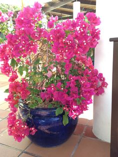 Bougainvillea, a classic Mediterranean plant, that can be found on arches, column and in patio pots. A Bougainvillea will give you colour for 9 - 10 months of the year. In the Algarve hard pruning is required in January or February. Can be seen in the areas number 30 & 22 on the botanical map. More about this resort at http://www.greatholidaylocations.com/leisure-resorts/pine-cliffs-golf-resort/