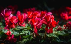 Learn how to grow and care for miniature or micro cyclamen with tips on soil, watering, and how to encourage them to rebloom. Indoor Window Garden, Garden Windows, Indoor Plants, String Garden, Interior Garden, Begonia, Geraniums, Houseplants, Helpful Hints