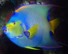 The queen anglefish - absolutely beautiful and majestic.
