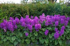 Czyściec wielkokwiatowy Stachys grandiflora Green Life, Flowers, Plants, Gardening, Gardens, Lawn And Garden, Plant, Royal Icing Flowers, Flower