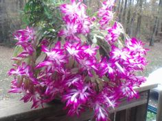 """Full Bloom in November"" Thanksgiving cactus (Schlumbergera truncata) Christmas Cactus blooms are red and just as beautiful."