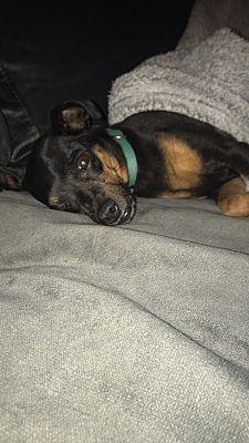 Las Vegas Nv Miniature Pinscher Meet Jade A Dog For Adoption