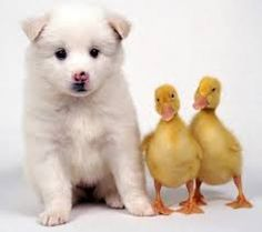 adorable white puppy and  two cute ducklings