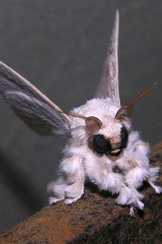 Poodle Moth The Venezuelan poodle moth is a fuzzy little insect who was discovered in 2009 and still has yet to receive a scientific name. In fact, the critter was originally believed to be an Internet hoax. Very little is known about this moth, except his obvious desire to dress up like a cotton ball.