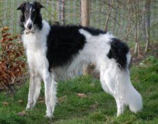 Borzoi Dog Info, Mixes, Temperament, Training, Puppies, Pictures Dog Breeds List, Large Dog Breeds, Best Dogs For Families, Family Dogs, Big Family, Puppy Images, Puppy Pictures, Borzoi Puppy, Magyar Agar