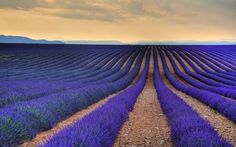 Lavender Field in Provence, France - Elite Envision