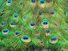 http://www.visoterra.com/images/original/plumes-de-paon-visoterra-43479.jpg