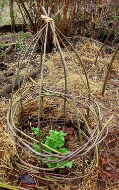 Twig cage can protect young plants from being munched on by rabbits, chickens or other critters