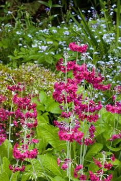 Primula japonica 'Millers Crimson' is an intense, rich magenta-crimson candelabra primula for a damp or shady spot in your garden.