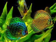 Discus fish #TropicalFishAquariumIdeas