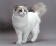 Ragdoll (the largest domestic cat breed) I would love to have one of these kitties and a Maine Coon. Pretty Cats, Beautiful Cats, Animals Beautiful, Cute Animals, Pretty Kitty, Cute Cats And Kittens, Kittens Cutest, Most Popular Cat Breeds, Animal Gato